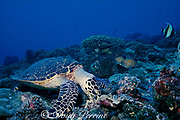 hawksbill sea turtle, Eretmochelys imbricata, feeding on coral rubble with regal angels and moorish idol waiting for scraps, Layang Layang Atoll, Malaysia  ( South China Sea )