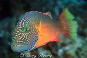 bandcheek or cheek-lined wrasse, Oxycheilinus digramma, Great Barrier Reef, Australia ( Western Pacific Ocean )