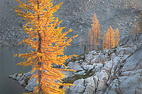Subalpine Larches (Larix lyallii) in golden autumn color. Stiletto Lake, North Cascades National Park Washington