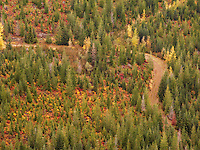 A forest service road winds up a mountainside through a new forest planted in Noble and Silver Fir in the Tahoma State Forest of Washington, USA in autumn.