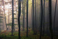 Beech trees of an old misty forest at springtime