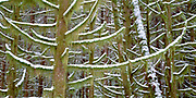Forest trees with dusting of snow