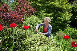 Carol Klein trimming box hedge. Shaping it by cloud pruning. Buxus sempervirens 'Elegantissima'