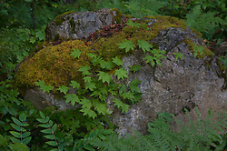 Boulder with Moss and Vine Maple Leaves, North Cascades National Park, Washington, US