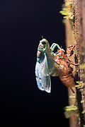 A cicada breaks out of its old skin, Rain Forest Costa Rica
