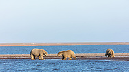 Sow polar bear (Ursus maritimus) foraging on a spit along the Beaufort Sea in Kaktovik, Alaska. Autumn. Morning.