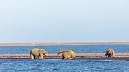 Sow polar bear (Ursus maritimus) foraging on a spit along the Beaufort Sea in Kaktovik, Alaska. Autumn. Morning.