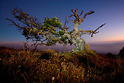 The Mamane (Sophora Chrysophylla) is a native tree that is currently threatened, but reforestation efforts are being made to restore forests to its former glory.  This mamane, growing on the slopes of Mauna Kea, is more than a hundred years old but only about eight feet tall.  It has withstood the harsh conditions of Mauna Kea's subalpine climate and grazing by introduced livestock.  Being the main food source for the critically endangered Palila (Loxioides Bailleui), a Hawaiian honeycreeper, mamane is a vital and irreplaceable port of our native ecosystem.
