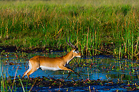 Red lechwe jumping over a stream, near Kwara Camp, Okavango Delta, Botswana.