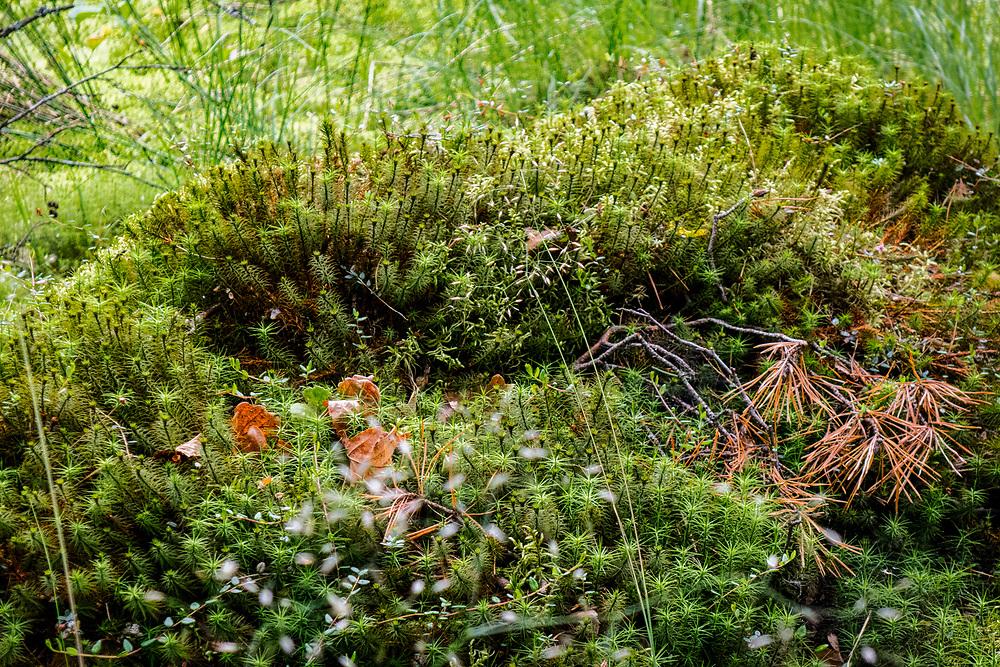 Kaszubki las w okolicach miejscowości Wdzydze Kiszewskie, zarastające torfowisko.