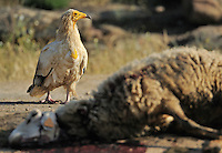 Egyptian vulture, Neophron percnopterus, Faia Brava reserve, Côa valley,<br /> Portugal