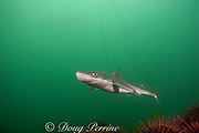 spiny dogfish, piked dogfish, spurdog, or dog shark, Squalus acanthias, and red sea urchins, Strongylocentrotus franciscanus, strands of bull kelp, Macrocystis integrifolia, in background, Quadra Island off Vancouver Island,<br /> British Columbia, Canada, ( North Pacific Ocean )