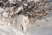 Arctic fox ( Vulpes lagopus ) in snow on tundra of Hudson Bay Lowlands <br />