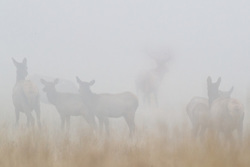 Bull elk and cows in harem in fog during fall rut, Vermejo Park Ranch, New Mexico, USA.