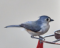 Tufted Titmouse (Baeolophus bicolor). Image taken with a Nikon D5 camera and 600 mm f/4 VR lens.