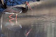Black stork (Ciconia nigra) from Kanha National Park, Madhya Pradesh, India.
