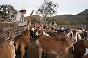 A man closes the gate to the enclosure holding his family's goat herd in San Francisco de la Sierra, Baja California Sur, Mexico on January 27, 2009. Making goat cheese is the primary activity and source of income for the ranches in the area.