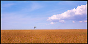 Tree and Grasslands, Maasai Mara, Kenya, July, 2002