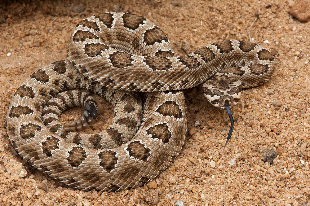 Prairie Rattlesnake (Crotalus viridis)<br /> CAPTIVE<br /> USA<br /> HABITAT & RANGE: Dry areas with moderate vegetation coverage and rocky areas serving as den sites.<br /> Native to western USA, Southwestern Canada and Northern Mexico