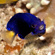 White-Tailed Pygmy Angelfish are usually solitary in areas of coral rubble. Picture taken Triton Bay; West Papua; Indonesia.