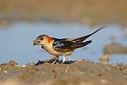 Red-rumped Swallow (Hirundo daurica) with beak full of mud for nest building, Bulgaria