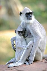 Hanuman Langurs