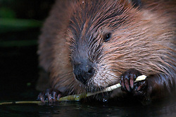 Beaver eating on a willow bush.