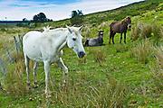 Connemara ponies on hill slope, Connemara, County Galway, Ireland