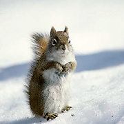 Red Squirrel,stays active during winter searching for food. Wi.