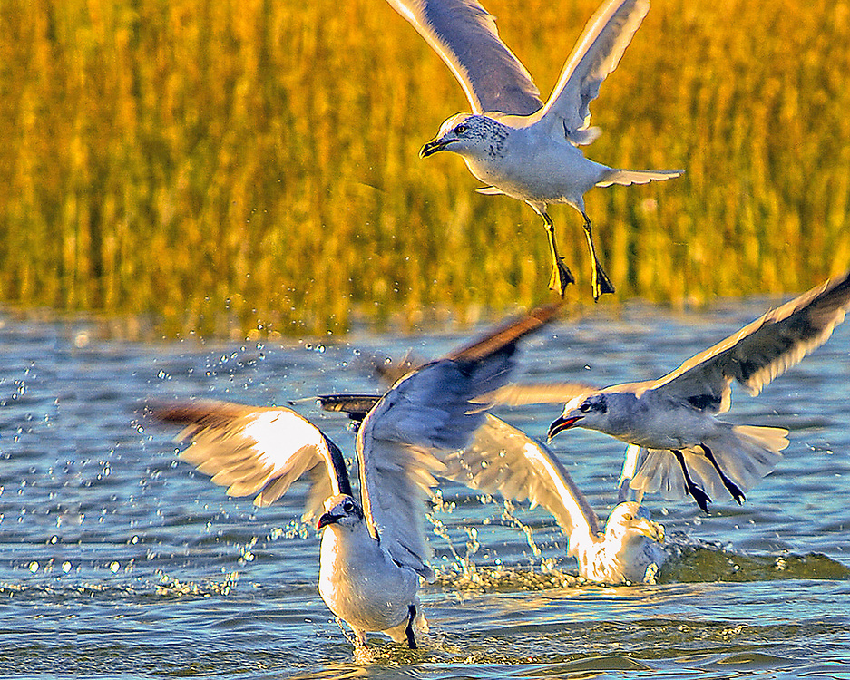 Seabirds of Long Island Sound. Seagulls and bait fish.