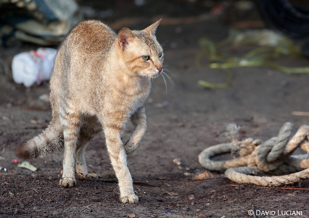 """A """"burmese"""" cat looking for food early in the morning in Linthar Village."""