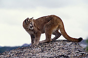 Juvenile female cougar (Felis Concolor). Range: North America - Canada south to South America. Captive, Montana.
