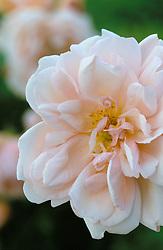 Rosa 'Albertine'