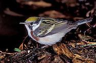 Chestnut-sided Warbler - Dendroica pensylvanica - Adult female