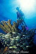 smallmouth grunts, Haemulon chrysargyreum, schooling under elkhorn coral, Acropora palmata, Molasses Reef, Florida Keys National Marine Sanctuary, Key Largo, Florida ( Western Atlantic Ocean )  MR 137