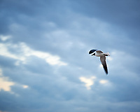 Laughing Gull. Viewed from the deck of the MV Explorer docked in Nassau, Bahamas. Image taken with a Nikon D3s camera and 50 mm lens.