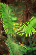 Ama'u fern, Kilauea Iki, Island of Hawaii<br />