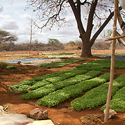 Sheepfold Ministries are encouraging small-scale vegetable growing using water from the wells they are digging. This is fertile soil; it is only the lack of rainfall that is causing famine, and yet the water table here is high. Wajir, North Eastern Kenya.