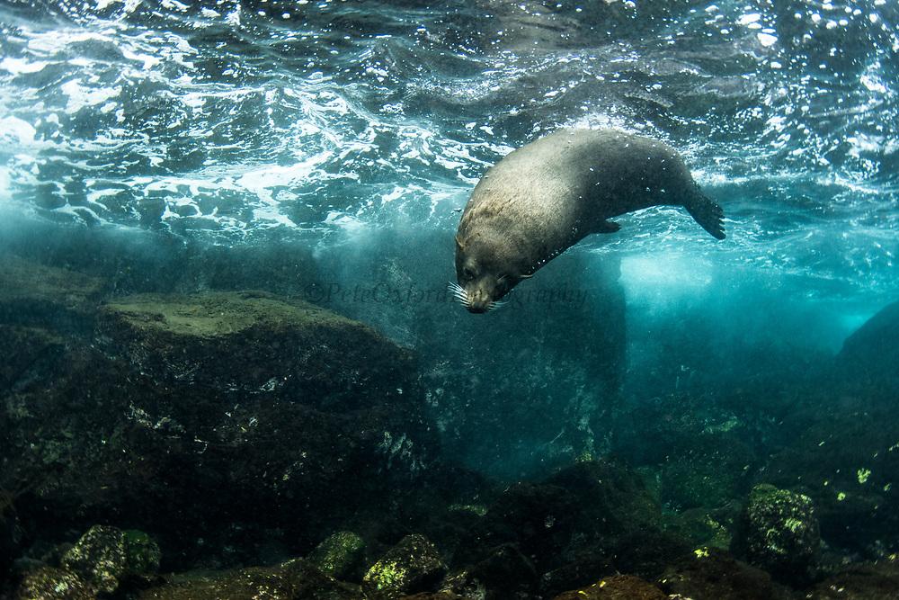 Galapagos Fur Seal (Arctocephalus galapagoensis) underwater<br /> Tower Island<br /> Galapagos<br /> Ecuador, South America <br /> ENDEMIC TO GALAPAGOS.