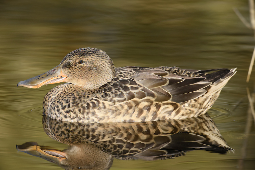 Shoveler - Spatula clypeata - female. L 44-52cm. Unmistakable because of bill shape. Usually unobtrusive. In flight, male shows blue forewing panel and white-bordered green speculum; in female, blue is replaced by grey. Sexes are dissimilar overall. Adult male has shiny green head, white breast and chestnut on flanks and belly. Stern is black and white and back is mainly dark. Has yellow eye and dark bill. In eclipse, resembles adult female although body is more rufous and head greyer. Adult female has mottled buffish brown plumage and yellowish bill. Juvenile is similar to adult female. Voice Male utters a sharp tuk-tuk while female makes a soft quack. Status Scarce breeding species on freshwater wetland. Commoner and more widespread in winter but seldom numerous.