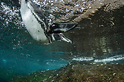 Galapagos Penguin (Spheniscus mendiculus) <br /> GALAPAGOS ISLANDS<br /> ECUADOR.  South America<br /> ENDEMIC TO GALAPAGOS ISLANDS