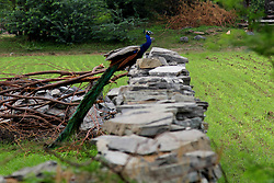 May 4, 2017 - Jaipur, India - Peacock in Ranthambore national park, India, on 4 May 2017. STR/NurPhoto  (Credit Image: © Str/NurPhoto via ZUMA Press)