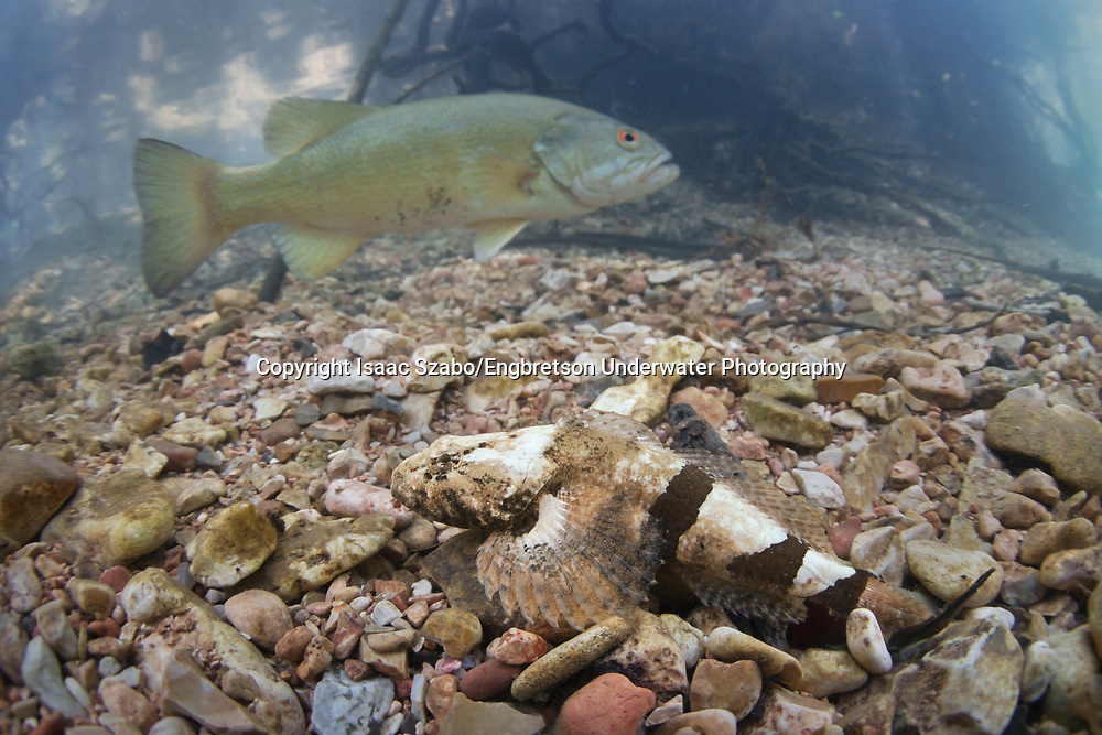 Banded Sculpin (with smallmouth bass in background)<br /> <br /> Isaac Szabo/Engbretson Underwater Photography