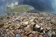 Banded Sculpin (with smallmouth bass in background)<br />
