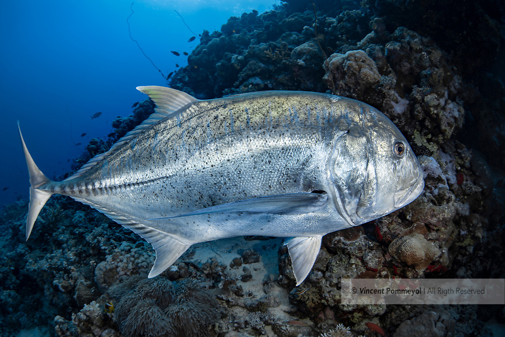 Giant trevally-Carangue à grosse tête (Caranx ignobilis), Red Sea, Sudan.