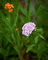 Sweet William, Dianthus. Image taken with a Nikon Df camera and 70-200 mm f/2.8 lens.
