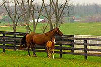 Mares and foals, Winstar Farm (thoroughbred horse farm), Versailles (near Lexington), Kentucky USA