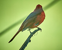 Male Northern Cardinal. Image taken with a Nikon D5 camera and 600 mm f4 VR lens