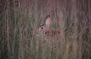 HUNTING, France. Ardeche.  Rabbit hiding in the long grass. . A pursuit which is loved by some and hated by others. The hunters say hunting is natural, their opposers say it is bloodthirsty. There are millions of guns and it is a popular bloodsport.