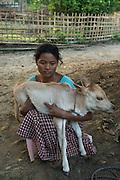 Mising holding calf while cow is milked<br /> Mising Tribe (Mishing or Miri Tribe)<br /> Majuli Island, Brahmaputra River<br /> Largest river island in India<br /> Assam,  ne India